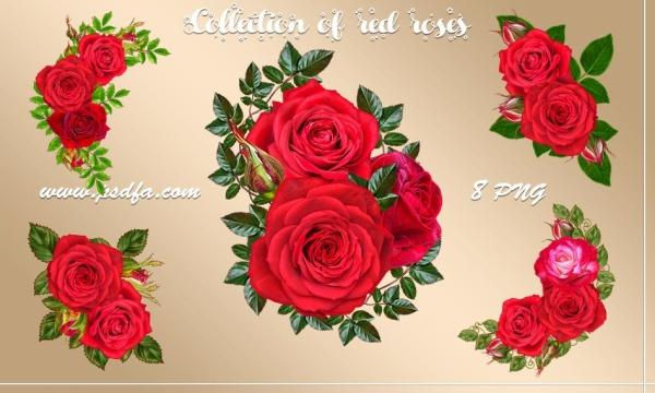 8 تصویر گل رز قرمز بدون بک گراند با کیفیت بالا مناسب برای طراحی