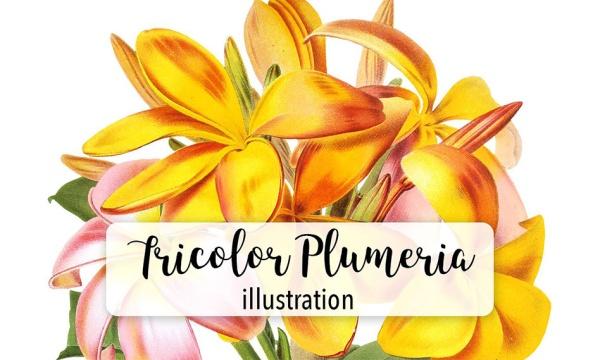 طرح نقاشی شده گل پلومریا با فرمت PNG مناسب برای طراحی