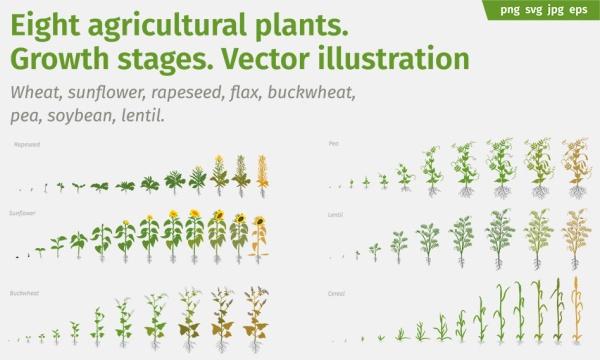 مجموعه تصاویر وکتور مراحل رشد و سیر تکامل گیاهان و سبزیجات