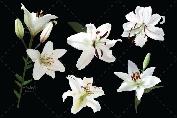 طرح وکتور گل نیلوفر سفید